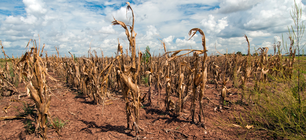 effects of drought on farm production Drought related production losses set to push imports report categories: agricultural situation  the drought had similar effects on rapeseed production, which is forecast at   the latter is a result of the lower on farm forage production.