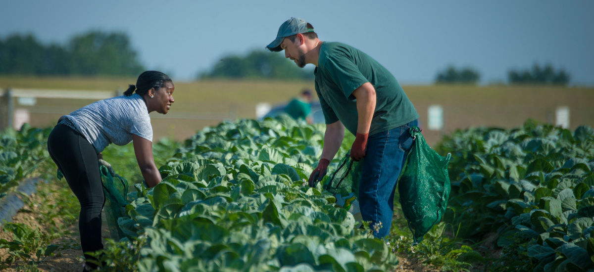 Gleaning collard greens at a Maryland farm