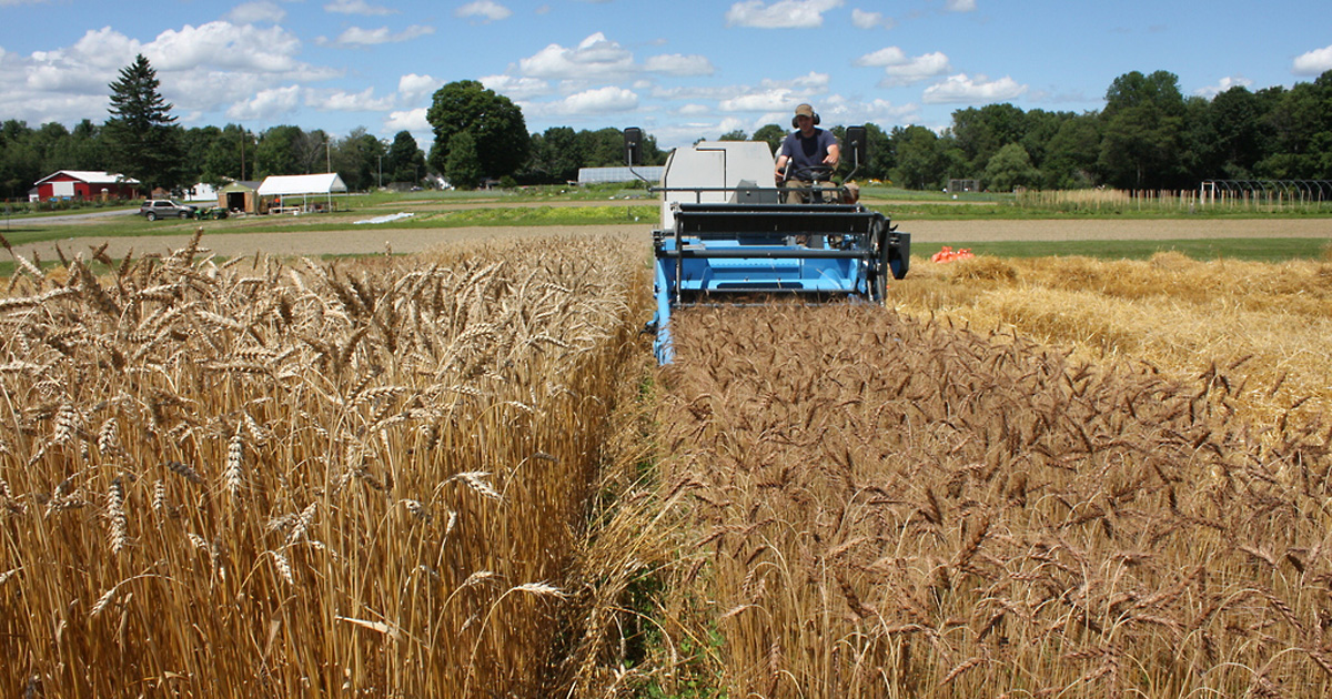 Organic grain farming in Maine