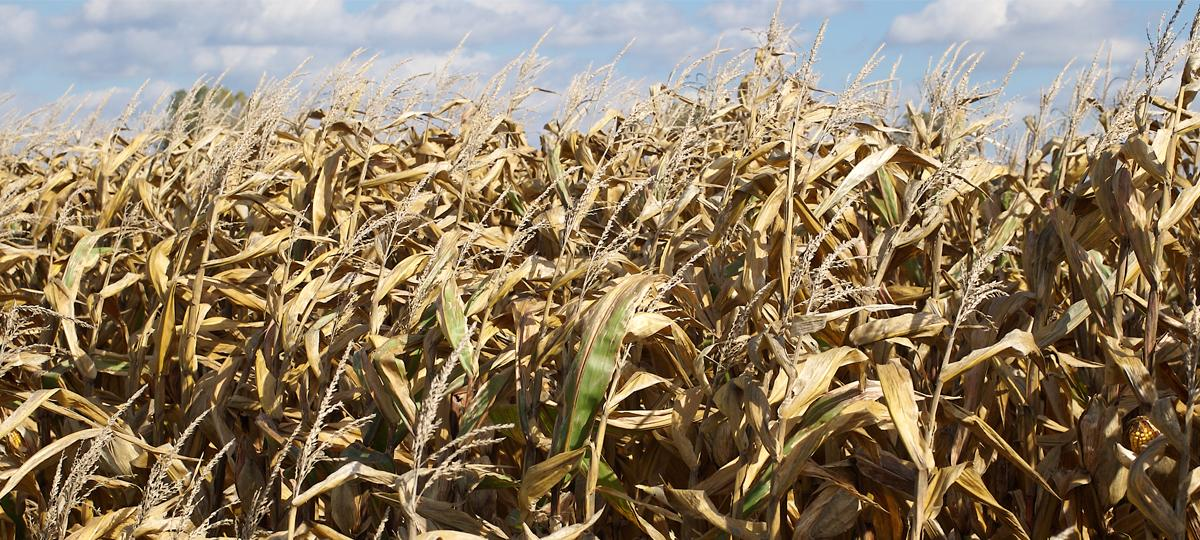 Corn is a major source of ethanol.