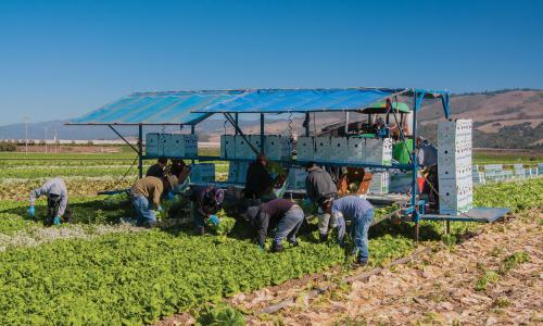 Farmworkers harvesting lettuce in California
