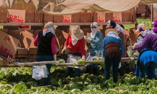Women packing lettuce wearing heavy clothes and face coverings