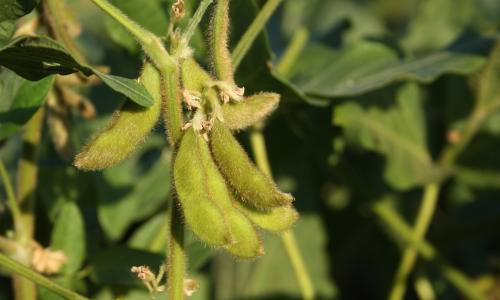Soybeans.
